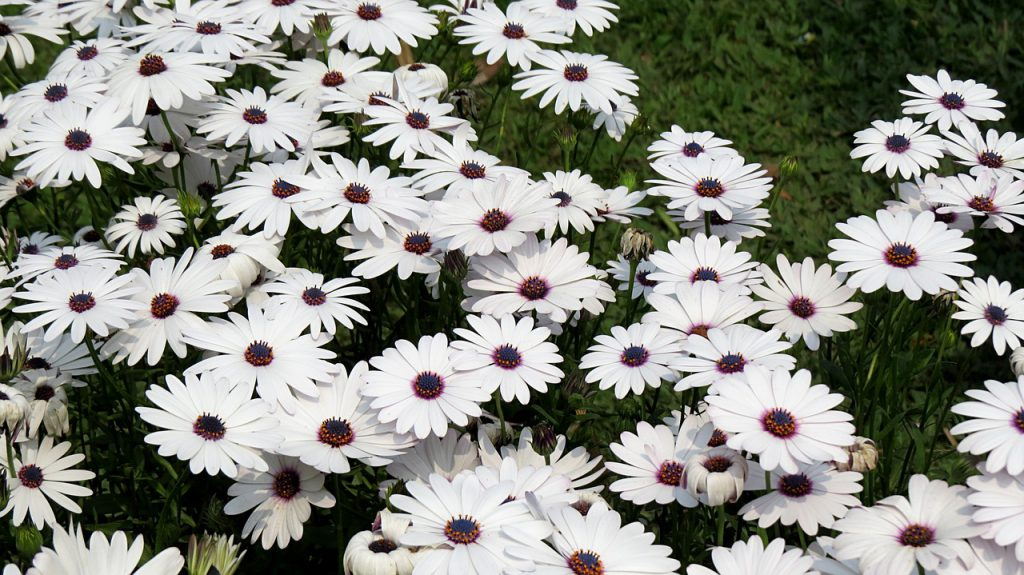 除虫菊のイメージ画像です。