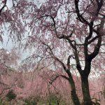花見スポット「原谷苑」