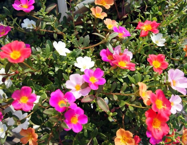 ポーチュラカの花です。
