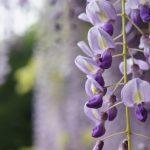 藤井寺市の藤の花