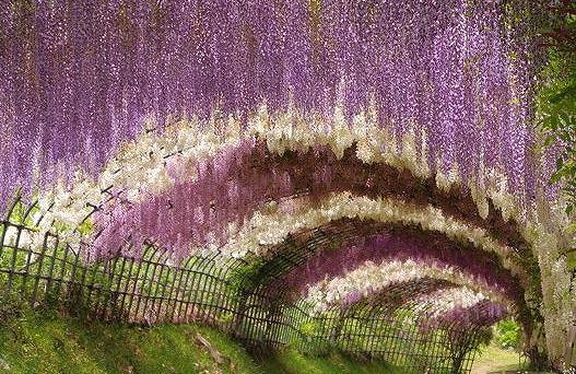 河内藤園の画像です