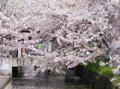 玉串川のサクラの画像です