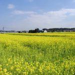 古賀市 菜の花畑の画像です