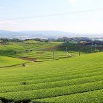 八女市 八女茶畑の画像です
