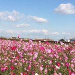 羽曳野市のコスモスの画像です
