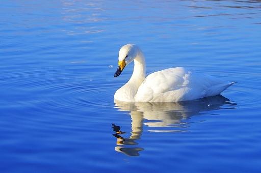 白鳥の画像です
