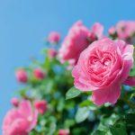 バラの画像です