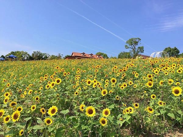 ひまわり畑の画像です