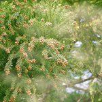 スギ花粉の画像です