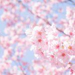桜の画像です